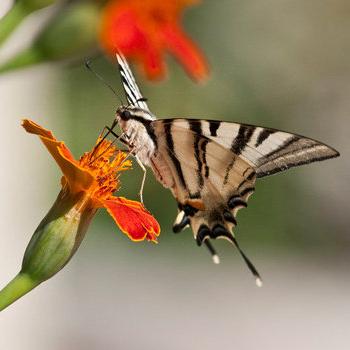 2_farfalla